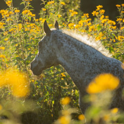 Autumn portrait of half-bred mare at sunset among flowers