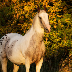 Autumn portrait of half-bred mare at sunset
