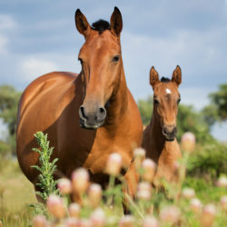 Lusitano mare with foal among flowers