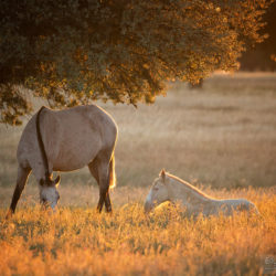 Lusitano mare with foal in the field