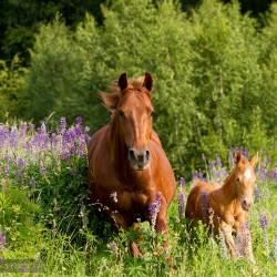 Klacz AQH ze źrebakiem galopująca przez kwitnący łubin zdjęcia koni
