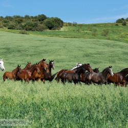Stado klaczy andaluzyjskich kłusujące w górach Hiszpanii
