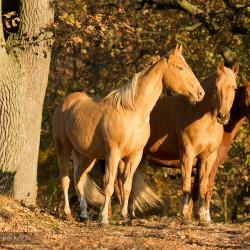 Klacze AQH stojące jesienią w dębowej alei zdjęcia koni