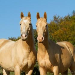 Portret szampańskich klaczy AQH na tle nieba jesienią zdjęcia koni