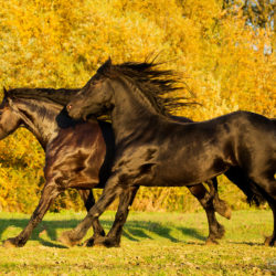 Friesian mares galloping on the yellow background
