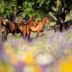 Lusitano mares standing in the flowering meadow