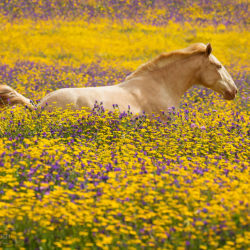 Lusitano filly galloping through the flowering meadow