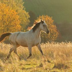Bułany koń małopolski kłusujący o wschodzie słońca jesienią