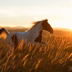 Srokaty koń małopolski galopujący wśród traw pod słońce o zachodzie