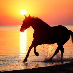 Half-bred gelding galloping on the Baltic seaside at sunrise