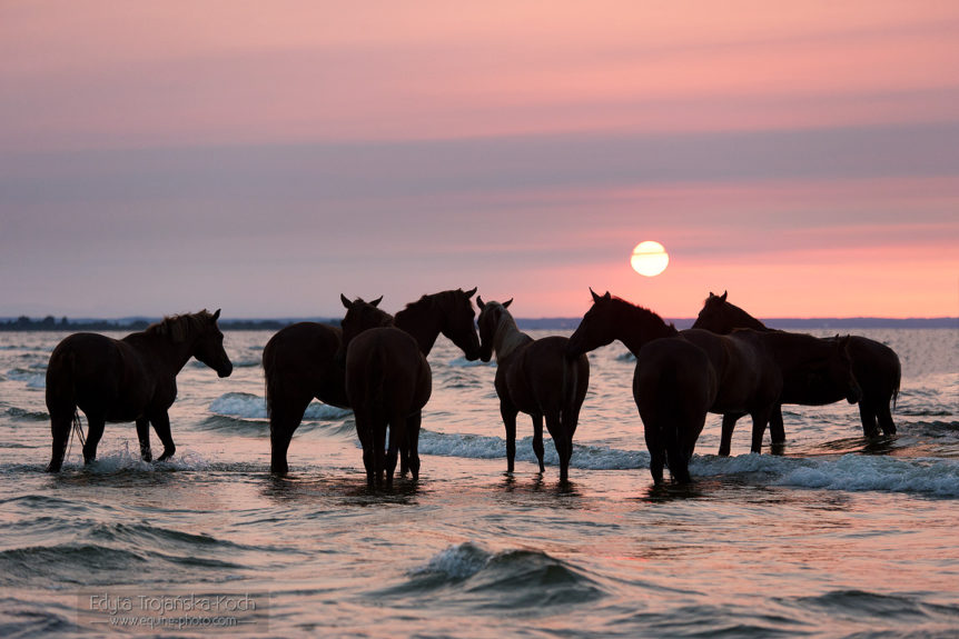 Herd of horses in the sea at sunset
