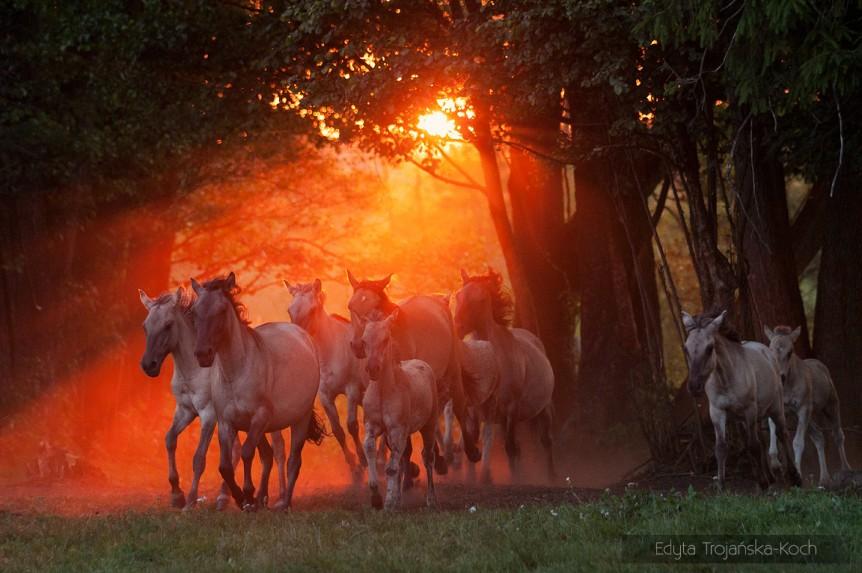 Stado koników polskich galopujące w ostatnich promieniach zachodzącego słońca