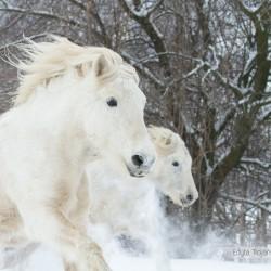 Portret galopujących zimą w śniegu klaczy highland equine photography zdjęcia koni