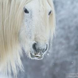Zimowy portret siwej klaczy highland