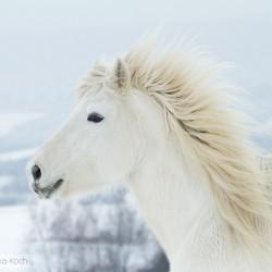 Portret kaczy kuca highland zimą