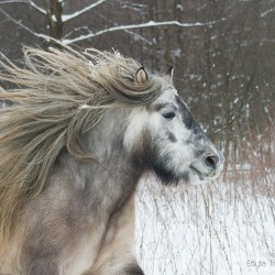 Zimowy portret kuca highland z rozwianą grzywą equine photography zdjęcia koni