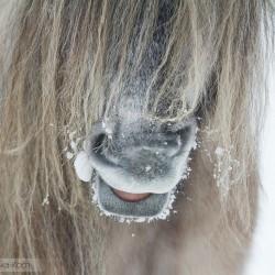 Zbliżenie pyska kuca highland zimą, equine photography zdjęcia koni