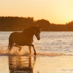 Kuc walijski kłusujący po jeziorze o zachodzie słońca