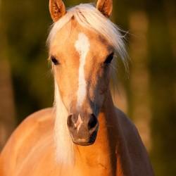 Portret klaczy palomino kuca walijskiego equine photography zdjęcia koni