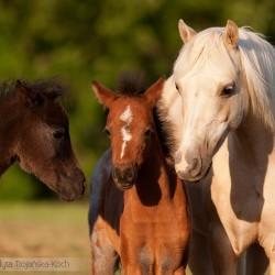 Portret klaczy kuca walijskiego i dwóch źrebaków equine photography