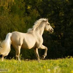 Galopujący ogier palomino kuca walijskiego equine photography zdjęcia koni