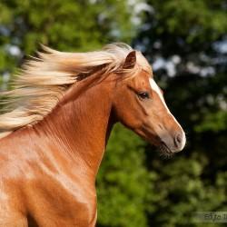 Portret ogiera kuca walijskiego kasztana na tle lasu equine photography zdjęcia koni