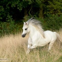 Siwa klacz kuca walijskiego galopująca na tle lasu equine photography zdjęcia koni