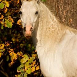 Portret siwego ogiera kuca walijskiego jesienią na tle kolorowych liści dębu