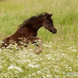 Kary źrebak kuca walijskiego galopujący po kwitnącej łące
