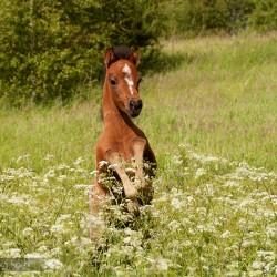 Źrebak kuca walijskiego skaczący na kwitnącej łące equine photography zdjęcia koni