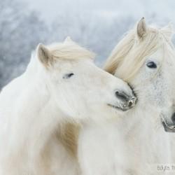 Siwe klacze kuca highland wąchające się zimą