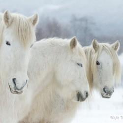 Zimowy portret trzech siwych klaczy kuca highland equine photography zdjęcia koni