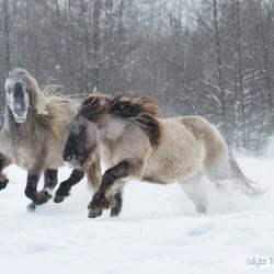 Kuce highland galopujące zimą w śniegu