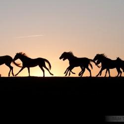 Stado kuców walijskich galopujące o zachodzie słońca na tle nieba