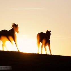 Kuce walijskie galopujące o zachodzie słońca na tle nieba equine photography zdjęcia koni