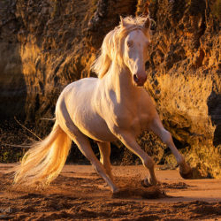 Cremello Lusitano galloping on the beach against the cliffs