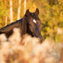 Fall portrait of Lusitano horse