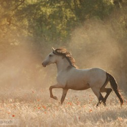 Lusitano mare trotting in spring in a field with poppies at sunset in Spain