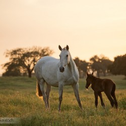 Lusitano mare with foal standing at sunset in field in Portugal