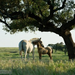 Lusitano mare and foal ruffling under a tree in Portugal