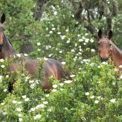 Wiosenny portret klaczy lusitano wśród kwitnących krzewów