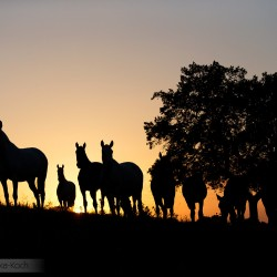 Silhouettes of Lusitano mares standing at sunset under a tree in Portugal
