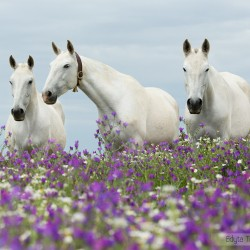 Lusitano grey mares standing in a field with white and violet flowers in spring in Portugal