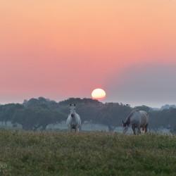 Klacze lusitano na pastwisku o zachodzie słońca