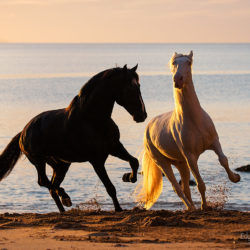 Lusitanos galloping on the beach