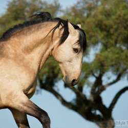 Portrait of Lusitano stallion in spring against tree in Portugal