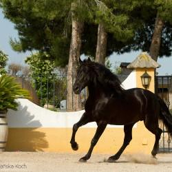 Kary ogier lusitano kłusujący po patio w Hiszpanii
