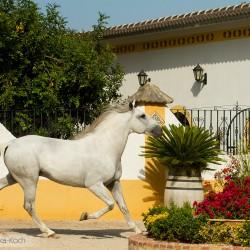 Siwy ogier lusitano kłusujący w patio w Hiszpanii