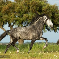 Grey Lusitano stallion trotting in Portugal against tree and sky