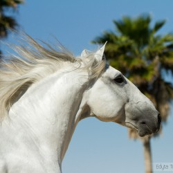 Portrait of Lusitano grey stallion grey in spring in Spain against sky and palms